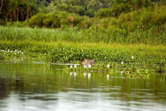6339663 - hippopotamus in the water, rubondo island reserves, tanzania.
